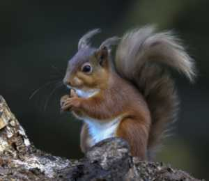 APU Merit Award E-Certificate - Trevor Woods (England)  Red Squirrel 341