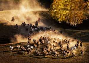 PSA Gold Medal - Hung Kam Yuen (Australia)  Herding