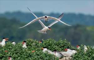 APU Merit Award E-Certificate - Phillip Kwan (Canada)  Tern Landing 231