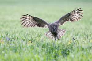 APAS Honor Mention e-certificate - Jinhui Fu (China)  Great Grey Owl