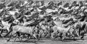 PhotoVivo Gold Medal - Barbara Schmidt (Germany)  Wild Horses