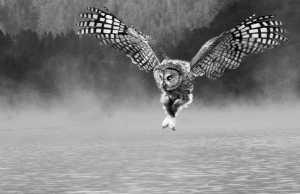 PhotoVivo Honor Mention e-certificate - Deshang Zhou (China)  Owl Set Off