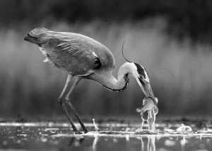 PhotoVivo Gold Medal - Lajos Nagy (Romania)  Grey Heron Fishing
