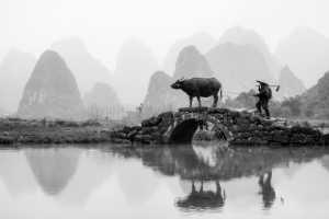 PhotoVivo Gold Medal - Yan Jiang (China)  Graze Cattle