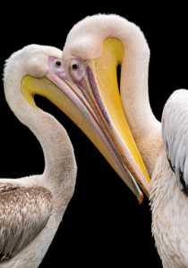 PhotoVivo Honor Mention e-certificate - Michael Seah (Singapore)  Twin Birds
