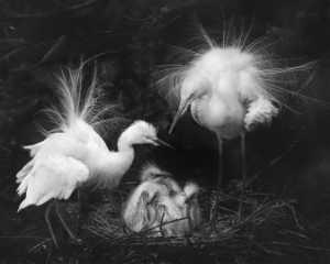 PhotoVivo Gold Medal - Tony Chi Keung Au Yeong (Hong Kong)  Breeding Feathers