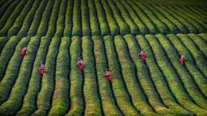 APU Gold Medal - Weiqiong Sun (China)  Pick Tea