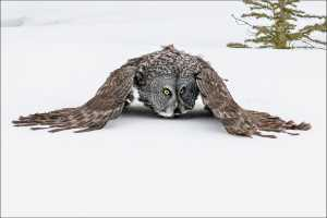 APAS Honor Mention e-certificate - Phillip Kwan (Canada)  Great Gray Owl 93