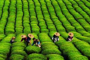 PhotoVivo Gold Medal - Weiling Dai (China)  Tea Picking Season