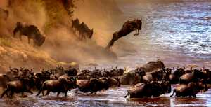 PSA HM Ribbons - Sergey Agapov (Russian Federation)  A Large Migration Of Wildebeest 2
