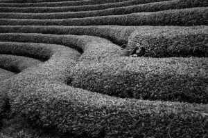 Circuit Merit Award e-certificate - Chaoyang Cai (China)  Tea Garden Scenery3