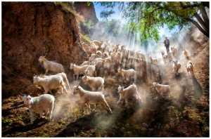 Circuit Merit Award e-certificate - Jeanne Chung (Canada)  Goats Sherparding