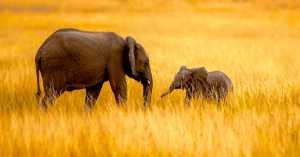 APAS Gold Medal - Chan Ieong Tam (Macau)  Elephant15