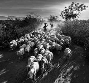 FIP Ribbon - Do Tuan Ngoc (Vietnam)  Dtn7-Shepherd In The Afternoon Sun