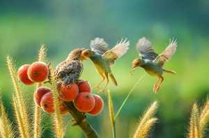 APAS Honor Mention e-certificate - Ajar Setiadi (Indonesia)  A Pair Of Birds