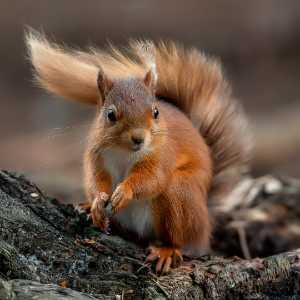 Circuit Merit Award e-certificate - Trevor Woods (England)  Red Squirrel 6247