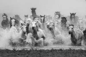 PhotoVivo Gold Medal - Que Tan (China)  Galloping