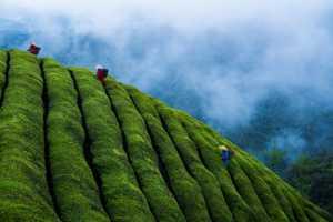 APAS Gold Medal - Zhengda He (China)  Tea Mountain