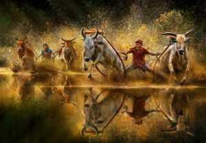 ICPE Gold Medal - Arnaldo Paulo Che (Hong Kong)  Cow Racing Festival 1