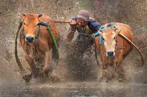 APAS Gold Medal - Irine Wiguno (Indonesia)  Traditional Cow Race 'Pacu Jawi'