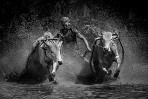 APAS Gold Medal - Chan Ieong Tam (Macau)  Cow Racing29