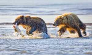 PhotoVivo Honor Mention e-certificate - Phillip Kwan (Canada)  Bear Chasing