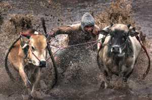 PhotoVivo Gold Medal - Hsiu-Chuan Chou (Taiwan)  Bull Competition