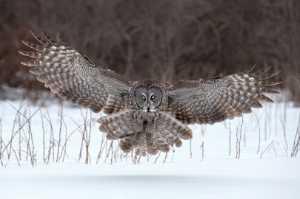 APAS Honor Mention e-certificate - Tin Sang Chan (Canada)  Great Gray Owl Landing