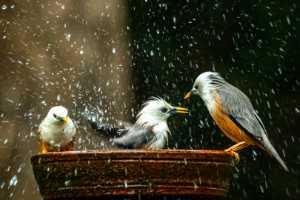 Circuit Merit Award e-certificate - Venkateswaran Radhaswamy (India)  Bath Time For Starlings