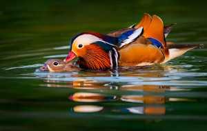 Circuit Merit Award e-certificate - Wei Wang (China)  Mandarin Duck Bath
