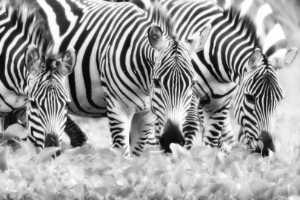 PhotoVivo Gold Medal - Min Li (China)  The Zebra Is Eating