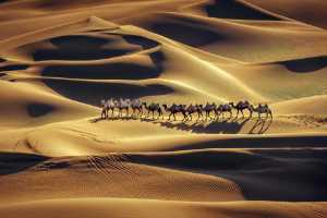 PhotoVivo Gold Medal - Jiangchuan Tong (China)  Camels