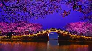 PhotoVivo Gold Medal - Wei Ye (China)  Cherry Blossom In Cc Bridge