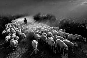 PhotoVivo Gold Medal - Huu Hung Truong (Vietnam)  3- Shepherd
