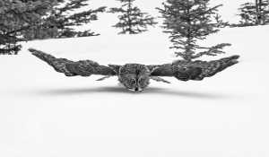 ICPE Honor Mention e-certificate - Phillip Kwan (Canada)  Great Gray Owl 72