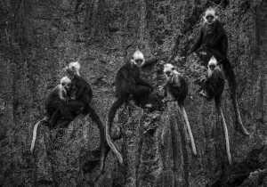 PhotoVivo Honor Mention e-certificate - Qiusheng Hu (China)  Leaf Monkey Family
