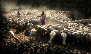 APAS Honor Mention e-certificate - Huu Hung Truong (Vietnam)  3-Girl Raising Goats