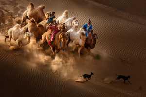 PhotoVivo Gold Medal - Xiping An (China)  Camel Dog