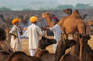 Circuit Merit Award e-certificate - Amani Alqahtani (Saudi Arabia)  Sell Camels