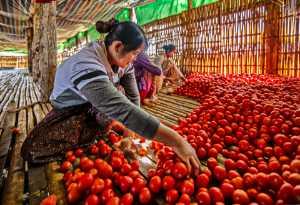 APAS Honor Mention e-certificate - Teck Boon Lim (Singapore)  Rmyn Sort Tomatoes
