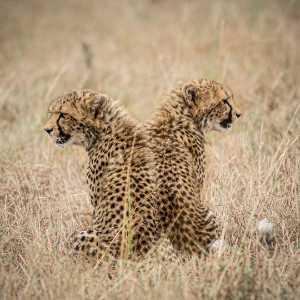 PhotoVivo Gold Medal - Li Jiang (China)  Two Leopard