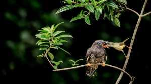 APU Winter Merit Award E-Certificate - Liu-Hsueh Hsieh (Taiwan)  Middleazalea Bird Agent Hatching
