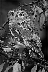 Circuit Merit Award e-certificate - Donald Dedonato (USA)  Gray Screech Owl in October