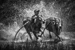 APAS Gold Medal - Guixiang Huang (China)  Bull Running