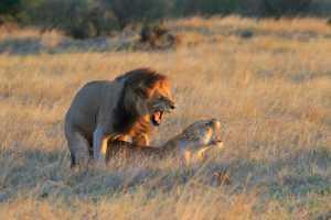 APU Gold Medal - Bob Devine (England)  Lions Mate At Sunset
