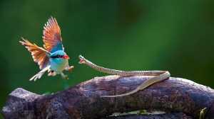 PhotoVivo Gold Medal - H W Chan (Hong Kong)  Bird Snake War 21
