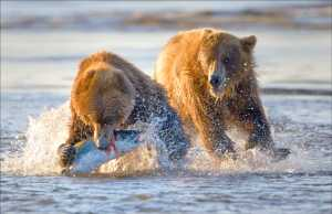 ICPE Honor Mention e-certificate - Phillip Kwan (Canada)  Bear Eating Fish