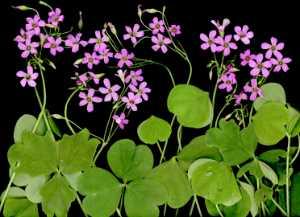 APAS Honor Mention e-certificate - Sa Kim Tran (United Arab Emirates)  Wild Flowers  444